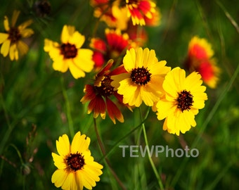 Texas Wildflower in the Beautiful Texas Hill Country