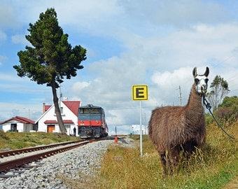 Tren Crucero Ecuador with Llama at Mount Chimborazo Metal Print 8 X 12