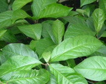 Anamu, Guinea Hen Weed, Live Plants Box of 2