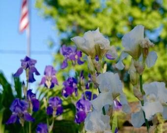 Mixed Iris Photograph