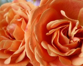 11 x 14 Dusty Peach Pink Rose Fine Art Macro Photography Print
