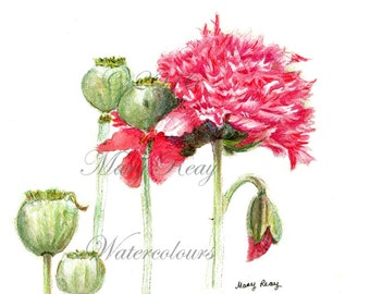 Peony Poppies II a Fine Art Print from an original Watercolor Painting by Mary Reay