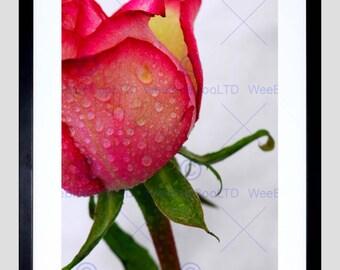 Nature Photo Pink Rose Bud Water Drops Macro Close Up Fine Art Print Poster FEBMP255B