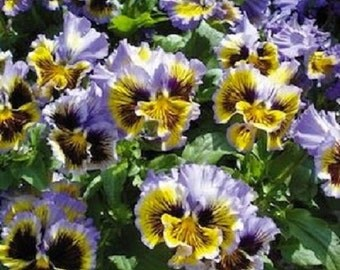 30+ Frizzle Sizzle Yellow and Blue Swirl Ruffled Pansy / Flower Seeds
