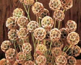25+ Fata Morgana Pincushion Scabiosa Pinkish Yellow / Perennial Flower Seeds