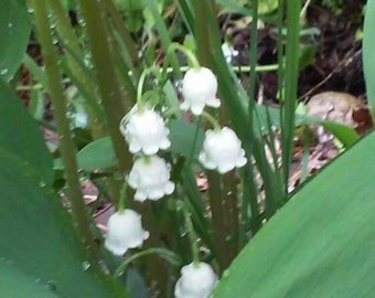 Lilly of the valley 921