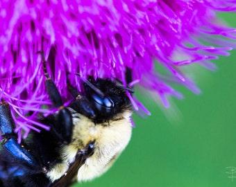 Macro, bumble bee