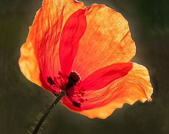 Fine Art Color Photograph of a Poppy backlit by the Sun