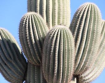 Saguaro Cactus. Desert Photography. Cacti. Digital Download. 5402.