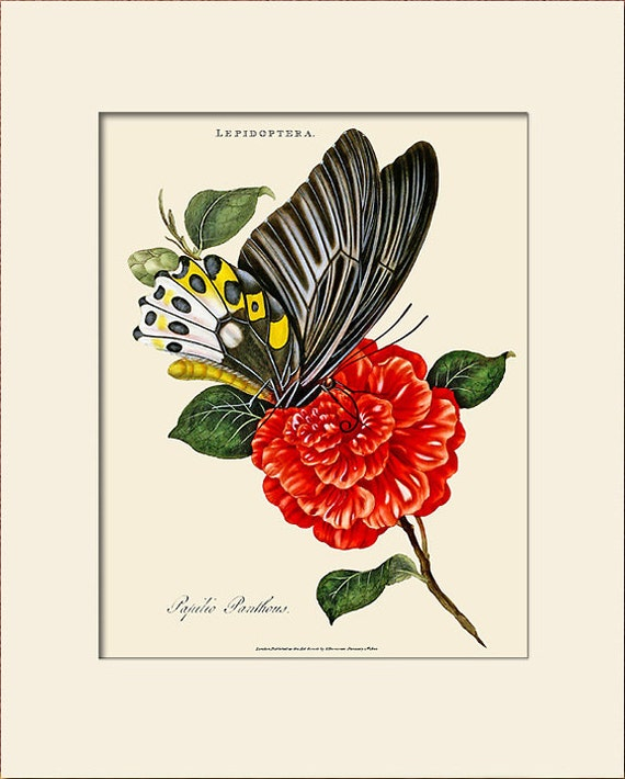 Butterfly Art Print with Mat, Papilio Panthous, Plate 18, Donovan, Natural History Illustration, Wall Art, Wall Decor, Butterfly Print