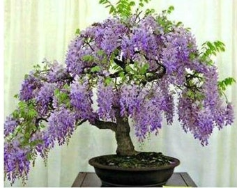 Premium Wisteria Bonsai Kit- 10 Pieces - All you need- complete- Excellent as a gift