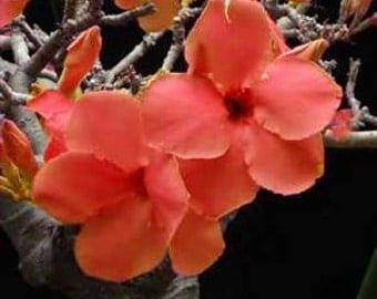 Adenium Obesum Desert Rose ' Orange'  5 Seeds