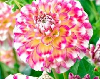 Dahlia Diablo 20 Seeds
