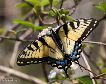 Eastern Tiger Swallowtail Butterfly Nature Print, Yellow, Blue, Bush, Insect