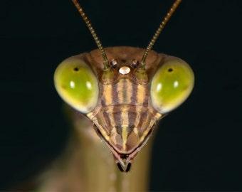 Preying Mantis - Up Close