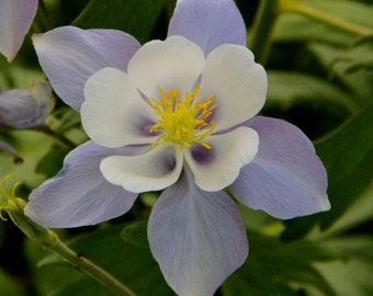 Mountain Columbine Wildflower
