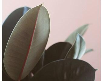 Nature Photograph - Plant Photograph - Plants On Pink - Ficus Elastica #3 - Rubber Plant Print - Fine Art Photograph - Floral Art Print