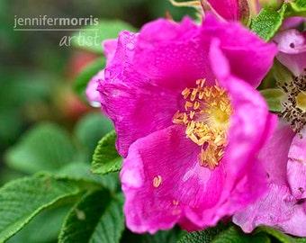 Wild Ocean Rose