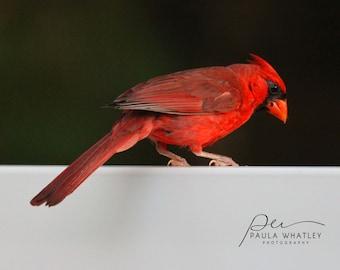 cardinal print, bird print, cardinal photo, cardinal bird print, bird photo, red bird photo, red bird print,  red white black photo, red art