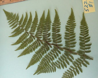Choose your Real Fern Grown in Alaska Pressed, Preserved, Dried 522 FL
