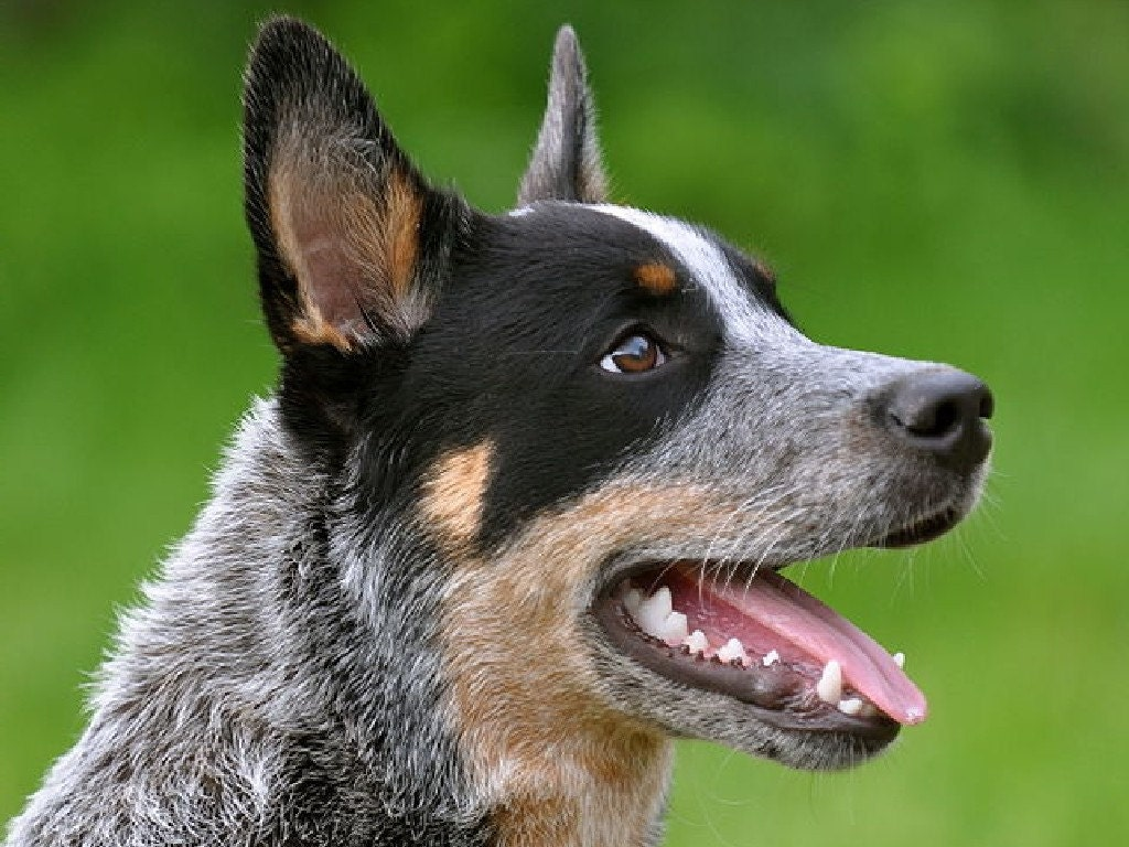 Australian Cattle Dog Blue Heeler On 16 Inch Square