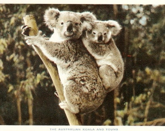 The Australian Koala and Young  Italian postcard 1950s Tree Climbing bear and Cub  Vintage Postcard