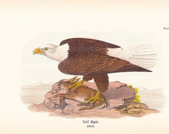 1890 Audubon Bird Print - Bald Eagle - Vintage Antique Book Plate America Americana Natural Science History Great for Framing 100 Years Old