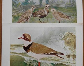 1902 Vintage bird prints, Set of 2 antique illustrations, Plover, old prints for wall art, decor