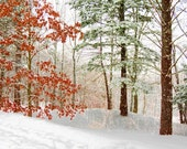 Winter Woodland Walk  8x10 Fine Art Photograph Snow Scene White Landscape with Colorful Trees Evergreen Home Decor
