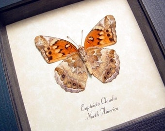 Real Framed Euptoieta Claudia The Variegated Fritillary Butterfly 2523