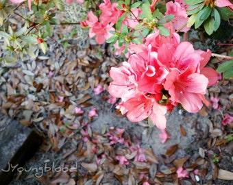 Photograph: Pink Azalea Nature Photo 5x7 Flower Print