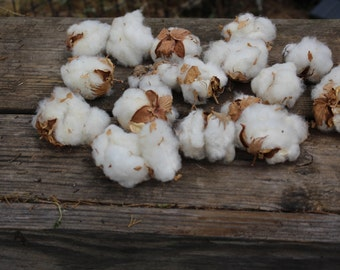 Cotton Bolls-Raw Cotton-15 Bolls per bag Natural Cotton-Wedding Cotton Flowers-Raw Cotton-Cotton Boutonniere -Country Wedding
