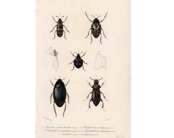 1849 BEETLES print original antique insect bug hand colored engraving