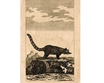 1808 ANTIQUE COATIMONDI ENGRAVING original antique animal engraving print