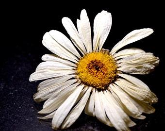Dried Flower - Shasta Daisy - White Flower - Yellow Center - White Daisy