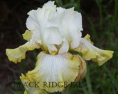 Tall Bearded Iris PAUL CLUTE 2006 white and yellow