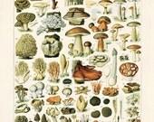 Antique Mushroom Poster - Vintage Botanical Mushroom Diagram 2. Variety of Mushrooms and Fungi Educational Chart Diagram Millot. CP258