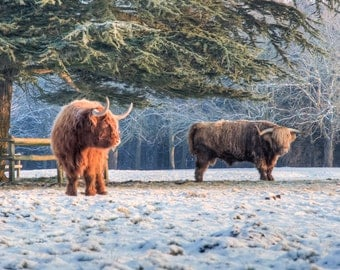 Highland Cattle 22 - Fine Art Photography - Highland Cow - Nature Photography - 7x5 Print