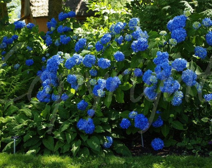 Blue Hydrangea Flowers Garden Botanical Photography Photo Romantic, Print or Greeting Card, Gift Idea
