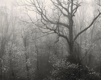 landscape photography, trees, tree photography, trees in fog, forest photography, fog, fog photography, Spring Forest, Smoky Mountains