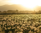 Digital Download Photo Illuminated Golden Field of Dandelion Fluff in an Idaho Sunset