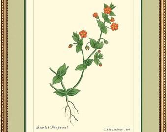 SCARLET PIMPERNEL - Botanical print reproduction 133