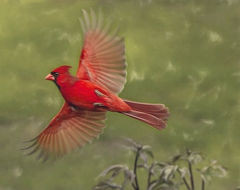 Red male cardinal, flying bird, red bird, cardinal print, cardinal bird art, flying cardinal, bird print, bird, wild bird, sage green, red