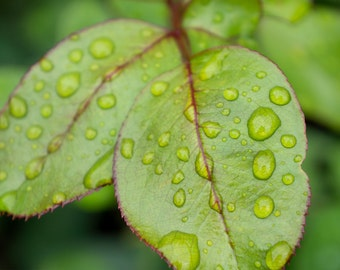 Leaf with Raindrops, Abstract Leaves Photograph, Nature Print, Botanical Art Prints, Large Photography, Green Home Decor, Modern Photography