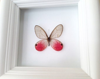 Real Butterfly Taxidermy - Butterfly Framed Art, Butterfly Decor, Framed Butterfly, Butterflies, Insect Taxidermy, Taxidermy Art, Bugs