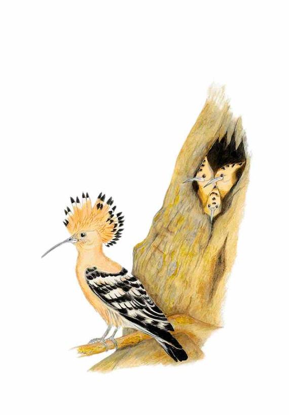 LIMITED EDITION (10) Hoopoe, Upupa epops, Israel's National Bird, Upupa epops, The hoopoe national bird of Israel, Italian Bird, Hoopoe Bird