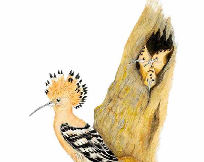 ORIGINAL ARTWORK Hoopoe, Upupa epops, Israel's National Bird, Upupa epops, National Bird Israel, European Bird, by Paula Kuitenbrouwer. Art.