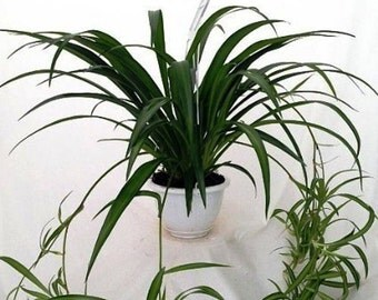 """6 Green Air Cleaning Spider Plants rooted cuttings with """"FREE"""" Shipping!!!"""
