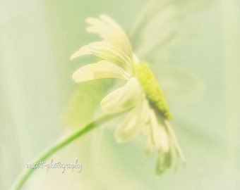 Dreamy Daisy Photograph  Floral Photography Garden Art   Modern Floral  Nature Inspired Teen Girl Nursery Gift For Her Home Decor fpoe