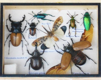 Real Mixed Beetle Cicada Insect Boxed Framed Taxidermy Display Wood Box For Collectibles /S08LL